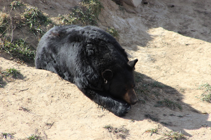 Black Bear (napping)