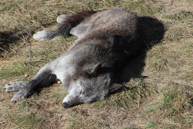 Black Wolf (napping)